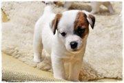 Джек Рассел терьер щенки - Готово - Совершенные Babies,  мужская и женс
